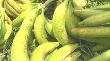 Plantains Ingredient For Restaurant Week