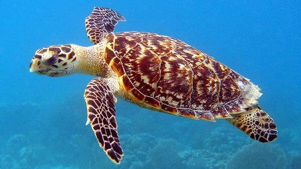 Hawksbill Sea Turtle - Nevis