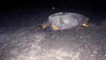 Nevis Sea Turtles - Ginger