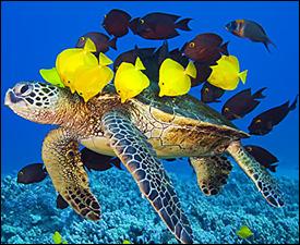 A Caribbean Green Sea Turtle