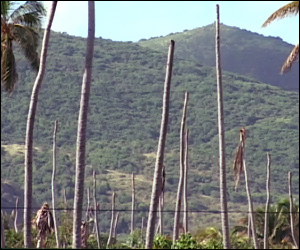 Decimated Coconut Trees In St. Kitts