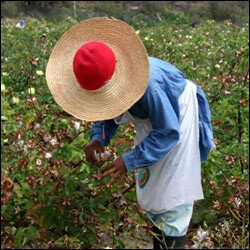 Nevisian Harvesting Sea Cotton In Nevis