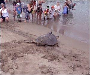 Millie The Hawksbill Sea Turtle