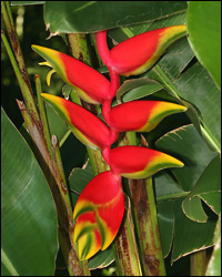 Lobster Claw or False Bird of Paradise Flower
