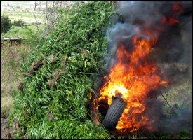 Marijuana Plants Burned In Nevis