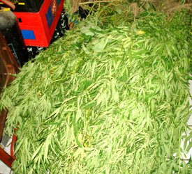 Marijuana Plants Uprooted In St. Kitts - Nevis