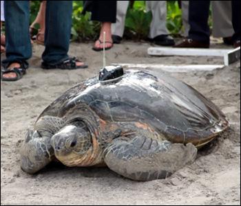 Neve - Sea Turtle On Nevis