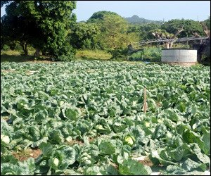 Cabbage Patch At Prospect, Nevis