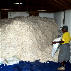 Sea Cotton From The Island Of Nevis