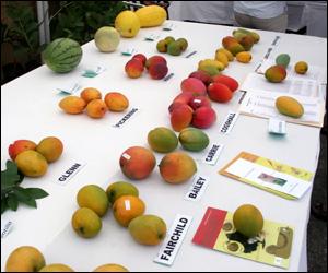 Varieties of Nevis Mangoes