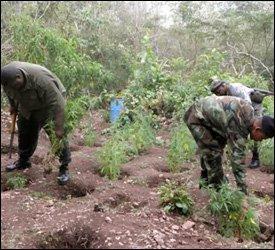 Nevis Police Uproot Marijuana Plants