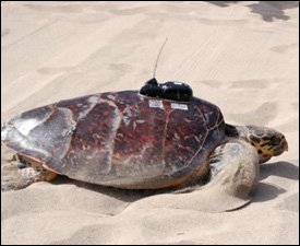 Sea Turtle With Transponder On Nevis