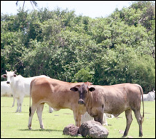 Happy Cows Come From Nevis