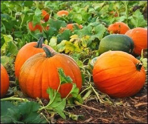 Locally Grown Pumpkins
