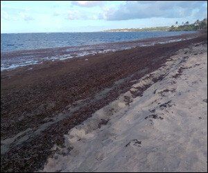 Sargassum Seaweed on Nevis' Atlantic Beaches