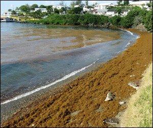 Seaweed Clogs St. Kitts' Beach
