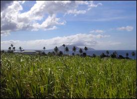 St. Kitts Sugar Cane Field