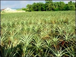 St. Kitts - Nevis Pineapple Farm