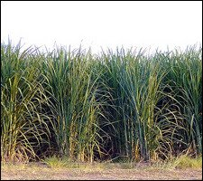 Sugar Can Field - St. Kitts - Nevis