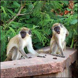 Vervet Monkeys In St. Kitts